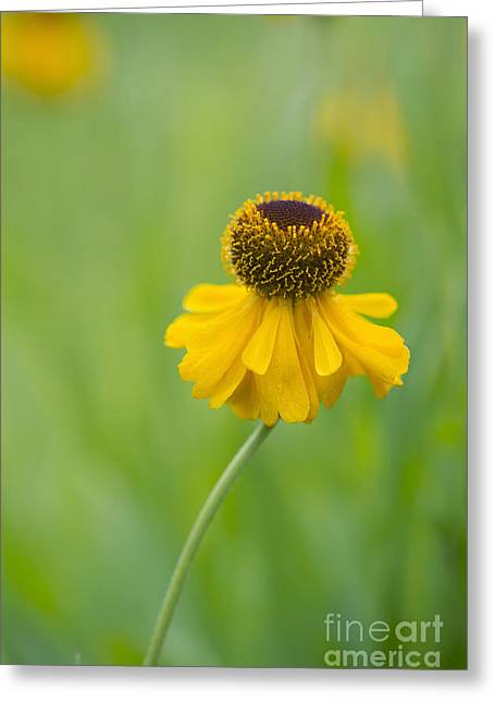 Sneezeweed Greeting Cards - Helenium The Bishop Greeting Card by Tim Gainey