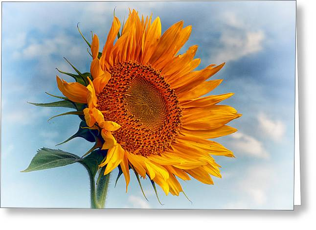 Flowers Against The Sky Greeting Cards - Helianthus annuus Greeting the Sun Greeting Card by Bill Swartwout