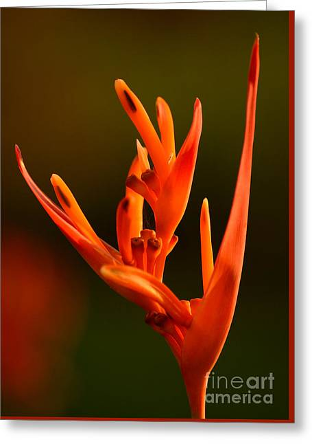 Heliconia Greeting Card by Zina Stromberg