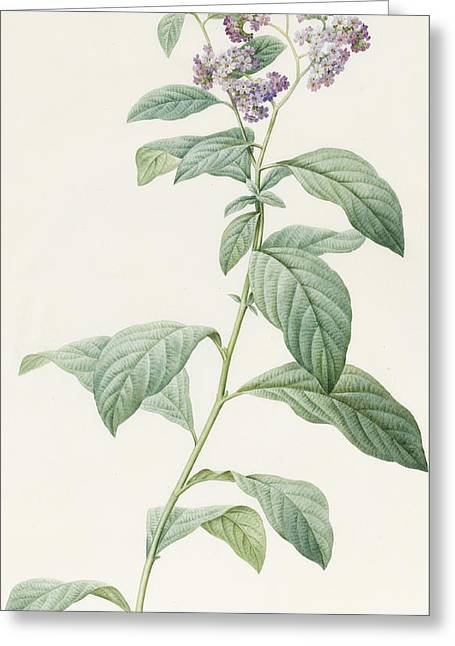 Watercolor! Drawings Greeting Cards - Heliotropium Corymbosurn Greeting Card by Pierre Joseph Redoute