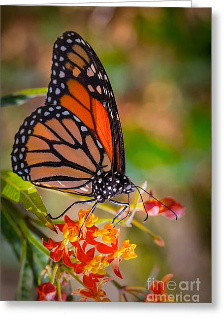Monarch Butterfly Greeting Cards - Hello Butterfly Greeting Card by Ana V  Ramirez