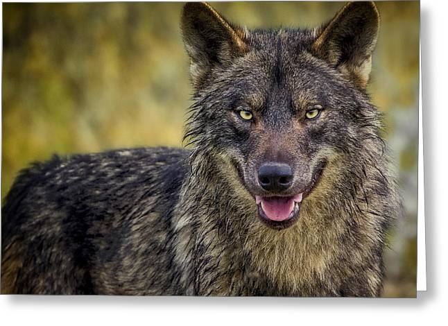 Wolves Photographs Greeting Cards - Hello There... Greeting Card by Pedro Jarque