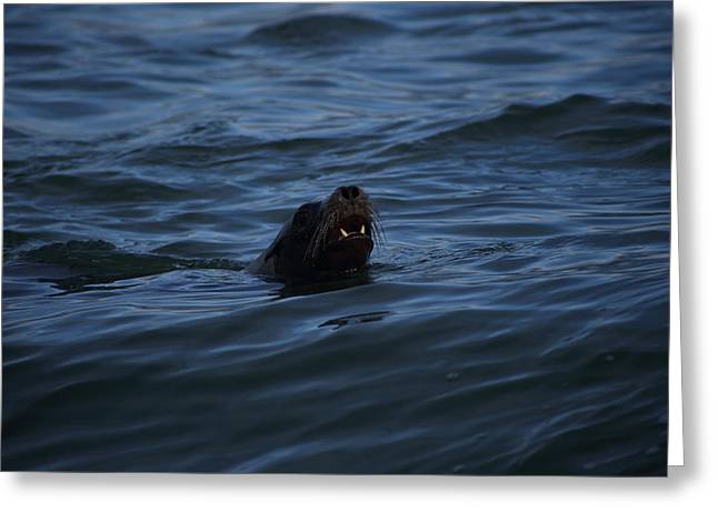 Sea Lions Greeting Cards - Hello World Greeting Card by Damien Pennington
