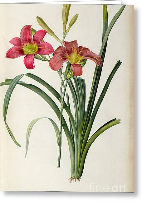 Engraving Greeting Cards - Hemerocallis fulva Greeting Card by Pierre Joseph Redoute