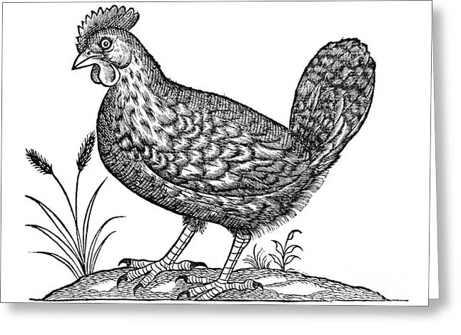 1555 Greeting Cards - Hen, 1555 Greeting Card by Middle Temple Library