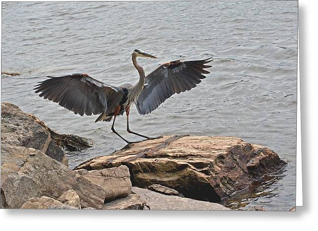 Seabirds Greeting Cards - Her Majesty The Great Blue Heron Greeting Card by Asbed Iskedjian