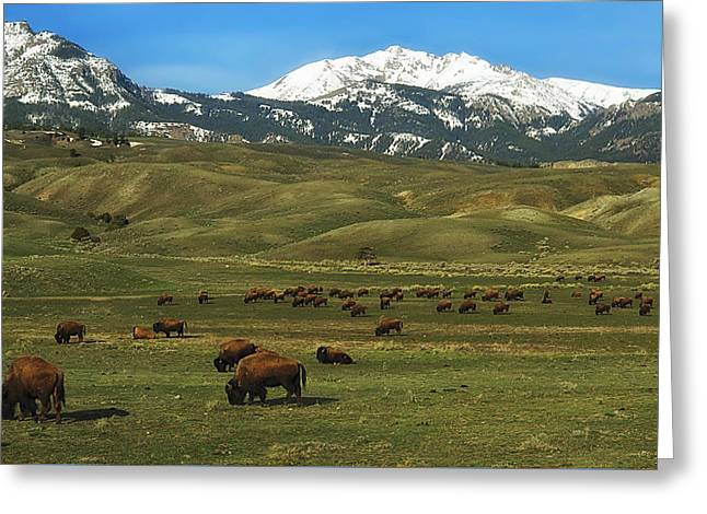 Grazing Snow Greeting Cards - Herd of Bison Greeting Card by Skeeze