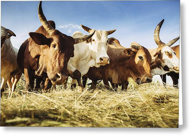 Toby Greeting Cards - Herded Cattle In The Western Highlands Greeting Card by Toby Adamson