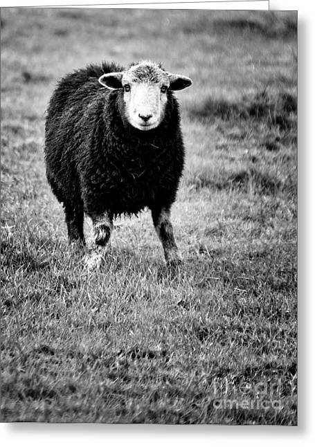 Herdwick Sheep Greeting Card by Meirion Matthias
