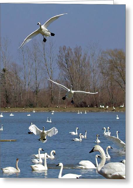 Here Come The Swans Greeting Card by Bill Lindsay