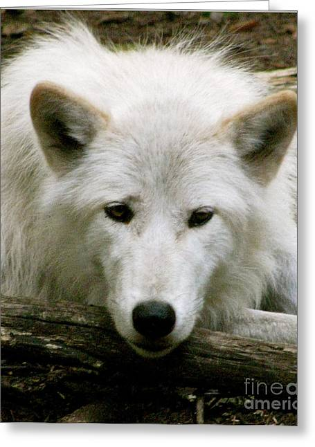 Wolf From The Forest Greeting Cards - Here S Looking At You Greeting Card by Debra     Vatalaro