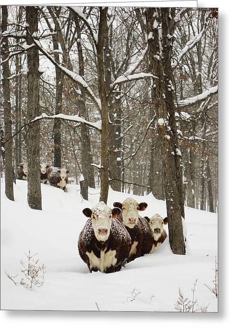 Arkansas Greeting Cards - Herefords in the snow. Greeting Card by Matthew Parks