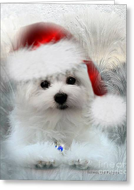 Hermes The Maltese At Christmas Greeting Card by Morag Bates