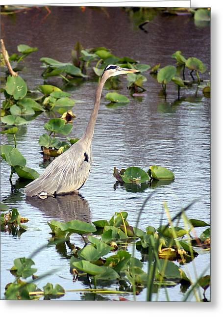 Photos Of Birds Greeting Cards - Heron Fishing In the Everglades Greeting Card by Marty Koch