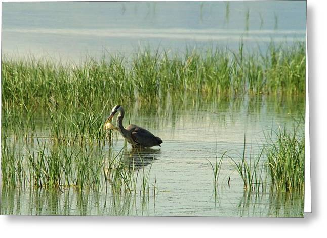 Wildlife Refuge. Greeting Cards - Heron gets a sunfish Greeting Card by Jeff Swan