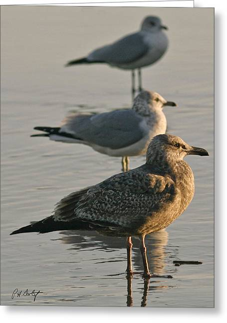 Wildlife Art Framed Prints Greeting Cards - Herring Gull  Greeting Card by Phill  Doherty