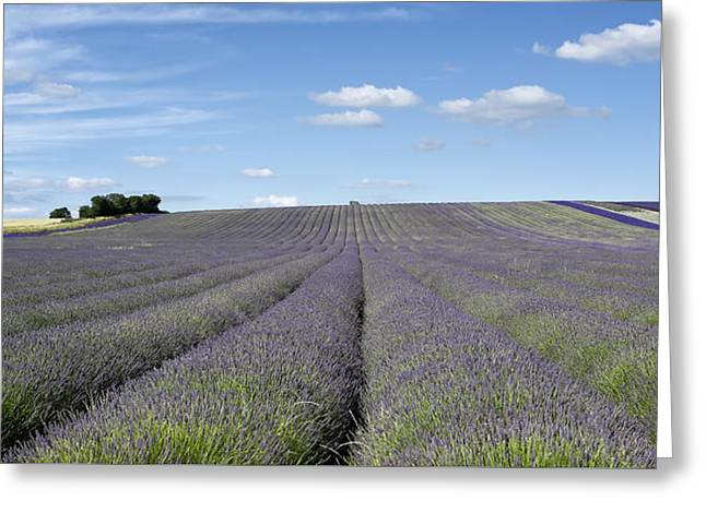 Hitchin Greeting Cards - Hertfordshire Lavender Field I Greeting Card by Matthew Train