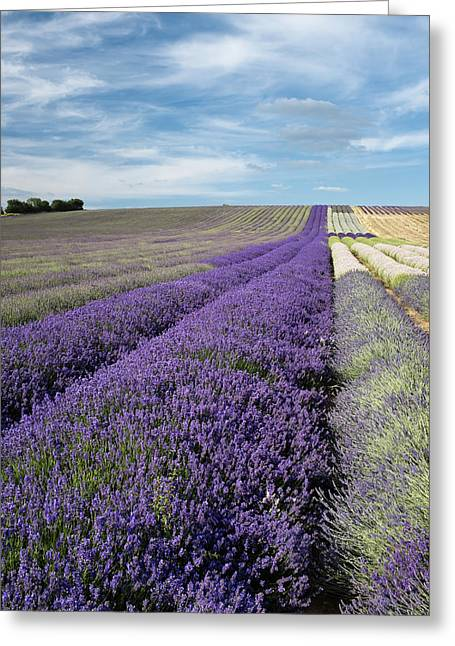 Hitchin Greeting Cards - Hertfordshire Lavender Field III Greeting Card by Matthew Train