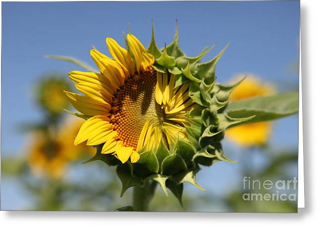 Sunflowers Greeting Cards - Hesitant Greeting Card by Amanda Barcon