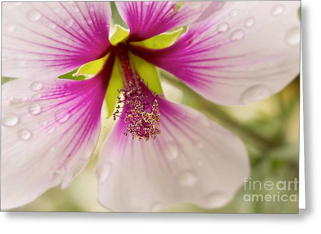 Rain Drop Greeting Cards - Hibiscus After the Rain Greeting Card by Ana V  Ramirez