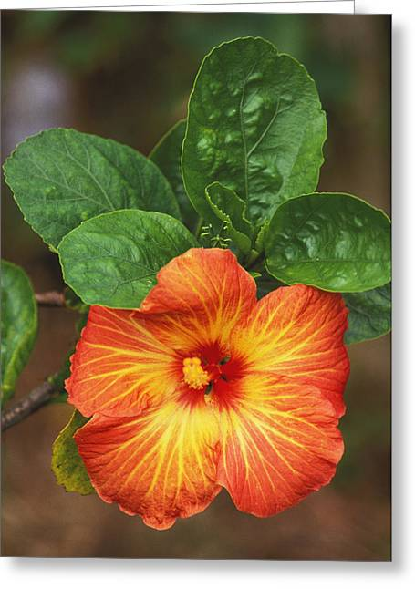 Hibiscus Greeting Card by Allan Seiden - Printscapes