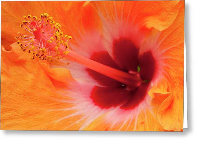 Hibiscus Close-up Greeting Card by Andrew Soundarajan