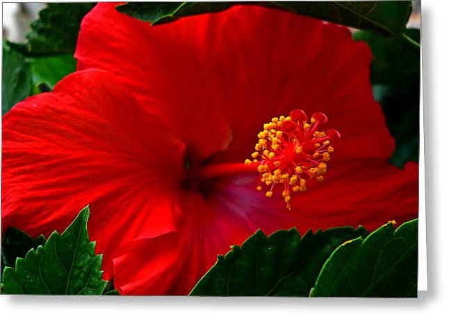 Dmc Greeting Cards - Hibiscus Flower 20090522 Greeting Card by Kevin Lormand