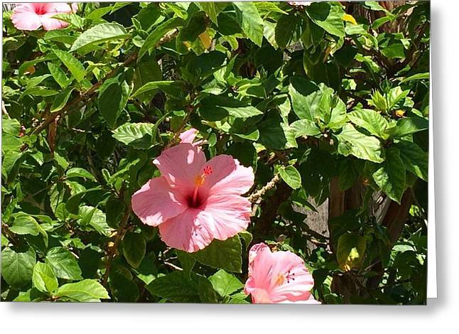 Hibiscus Tree 2015 Greeting Card by Althea Morgan-Campbell