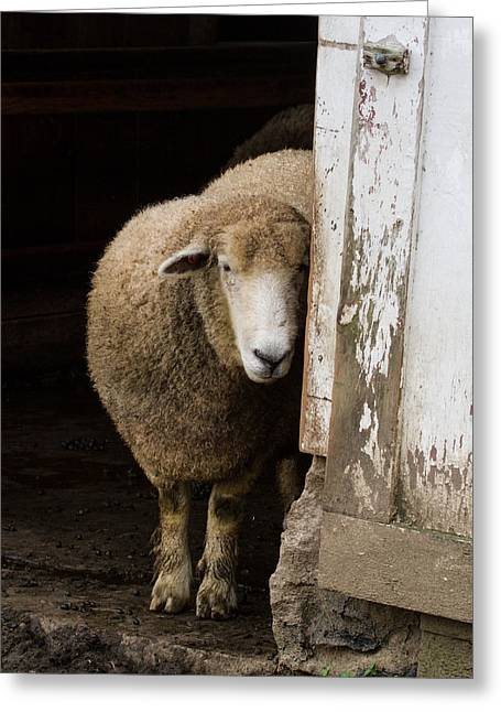 Maine Farms Greeting Cards - Hide n Sheep Greeting Card by Chuck Homler