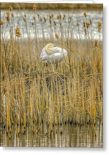 Swan Greeting Cards - Hiding Swan on Nest Greeting Card by LeeAnn McLaneGoetz McLaneGoetzStudioLLCcom