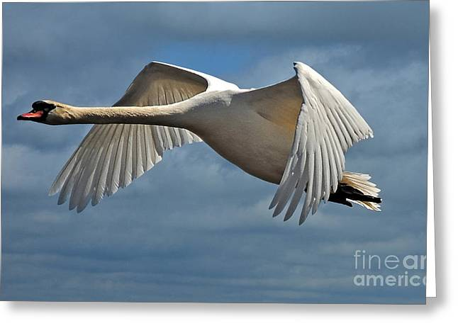 Flying Mute Swan Greeting Cards - High Flying Greeting Card by Lois Bryan