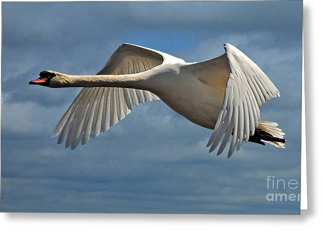 Flying Swan Greeting Cards - High Flying Greeting Card by Lois Bryan