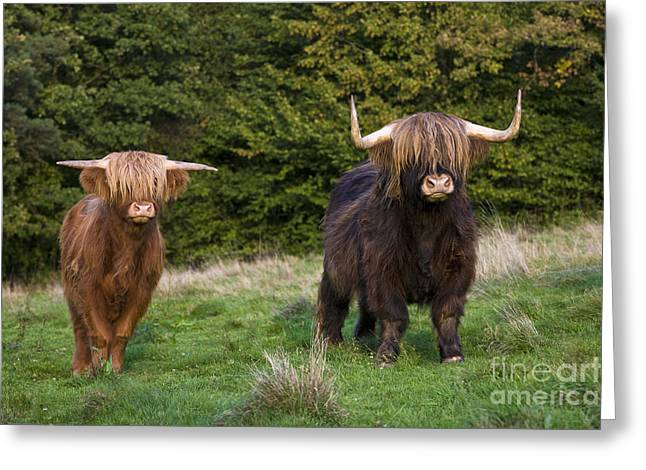 Land Use Greeting Cards - Highland Cattle Greeting Card by Jean-Louis Klein & Marie-Luce Hubert