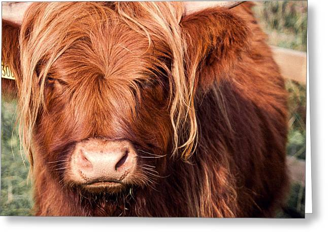Highland Cow Greeting Card by Chris Dale