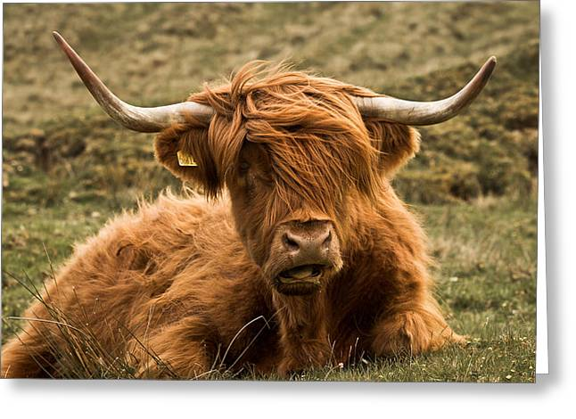 Highland Cow Color Greeting Card by Justin Albrecht