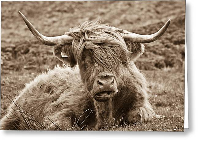 Sepia Greeting Cards - Highland Cow  Greeting Card by Justin Albrecht