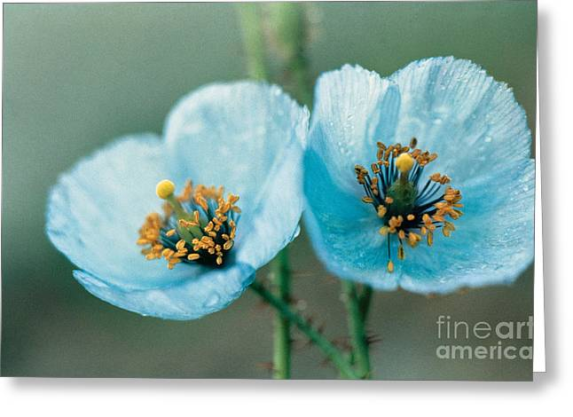 Wet Petals Greeting Cards - Himalayan Blue Poppy Greeting Card by American School