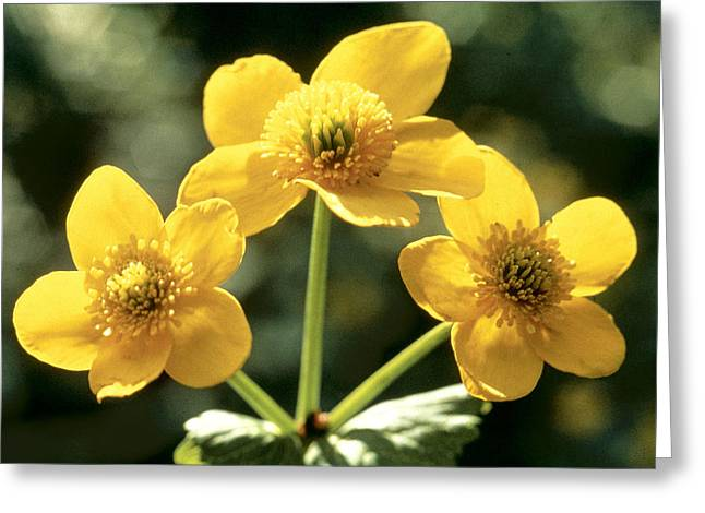 Flower Photos Greeting Cards - Himalayan Marsh Marigold Greeting Card by American School
