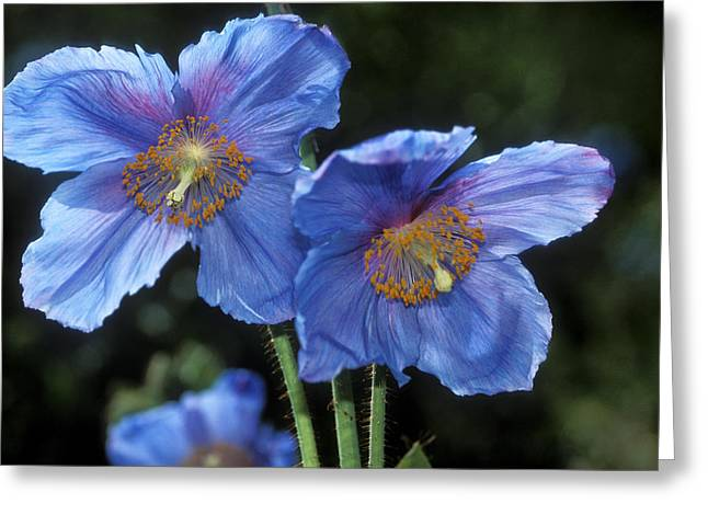 Himalayan Poppy (meconopsis Grandis) Greeting Card by Dr Keith Wheeler