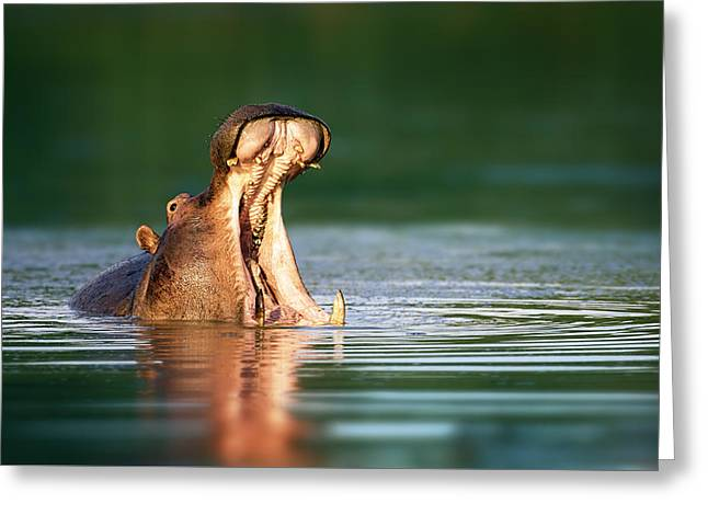 Water Display Greeting Cards - Hippopotamus Greeting Card by Johan Swanepoel