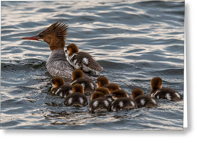 Ducklings Greeting Cards - Hitch Hiker Greeting Card by Paul Freidlund