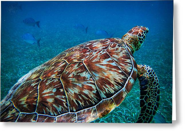 Hawksbill Sea Turtle Greeting Cards - Hol Chan Sea Turtle 001 Greeting Card by Lance Vaughn