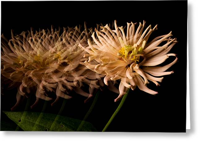 Zinnias Greeting Cards - Hold Still Greeting Card by Don Spenner