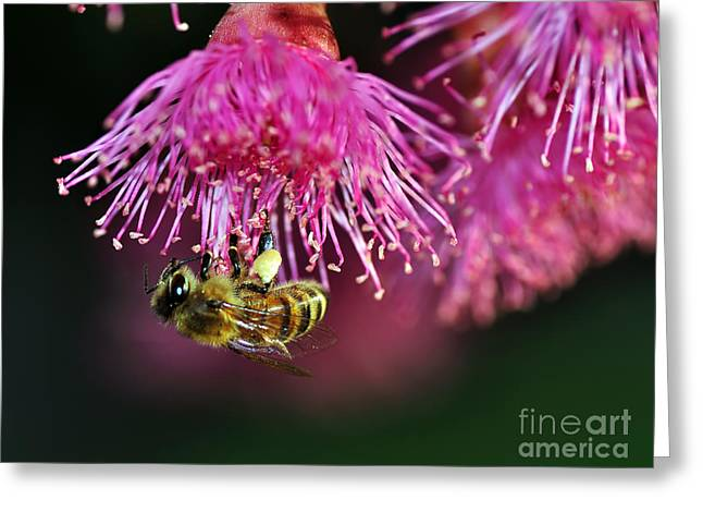 Australian Bee Greeting Cards - Holding On Greeting Card by Kaye Menner
