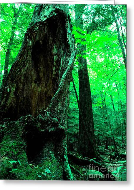 Hollow Greeting Cards - Hollow Maple Tree Greeting Card by Thomas R Fletcher