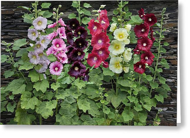 Medium Flowers Greeting Cards - Hollyhock Alcea Rosea Flowers Greeting Card by VisionsPictures