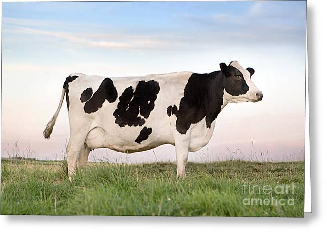 Barn Yard Photographs Greeting Cards - Holstein Dairy Cow Greeting Card by Cindy Singleton