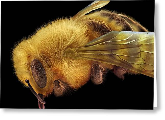 Pollinator Greeting Cards - Honey Bee, Sem Greeting Card by David Mccarthy