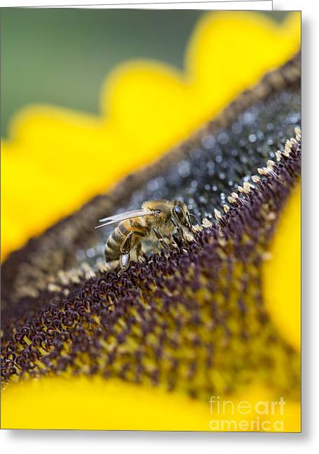 Honey Bee Greeting Card by Tim Gainey