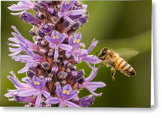 Hovering Greeting Cards - Honeybee and Pickerelweed Flowers Greeting Card by Tom Mason